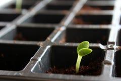 小的幼木植物 免版税图库摄影