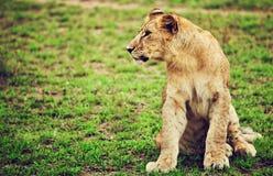 小的幼狮纵向。 坦桑尼亚,非洲 免版税库存照片