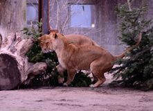 小的幼狮 图库摄影