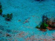 小的底栖鱼 免版税库存照片
