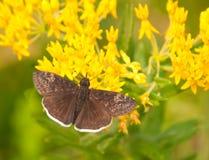 小的悲哀的Duskywing蝴蝶 免版税库存图片