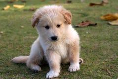 小的拉布拉多小狗 库存图片
