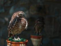 小的挖洞的猫头鹰-与布朗全身羽毛和黄色眼睛的雅典娜cunicularia-画象  免版税库存图片