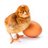 小的新出生的棕色鸡用鸡蛋 图库摄影