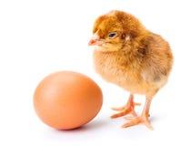 小的新出生的棕色鸡用鸡蛋 免版税库存图片