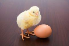 小的新出生的黄色鸡用在棕色背景的鸡蛋 免版税图库摄影