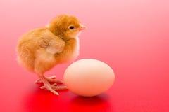 小的新出生的黄色鸡用在红色背景的鸡蛋 免版税库存图片