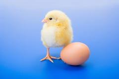 小的新出生的黄色鸡用在蓝色背景的鸡蛋 库存图片
