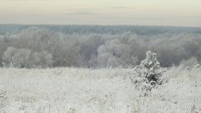 小的杉木在冬天森林里 库存照片