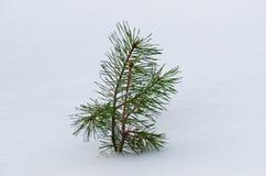 小的杉树在雪下的冬天 免版税库存照片