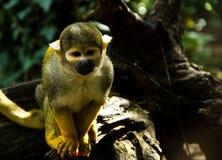 小的松鼠猴子 图库摄影