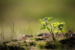 小的桦树 免版税库存照片
