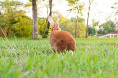 小的棕色兔子 免版税库存照片