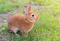 小的棕色兔子 库存图片