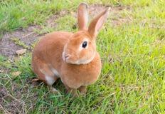 小的棕色兔子 免版税图库摄影