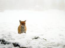 小的棕色狐狸 库存图片