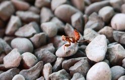 小的棕色螳螂 免版税库存照片