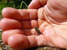 小的棕色青蛙坐一只人的手 免版税库存照片