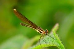 小的棕色蜻蜓 免版税库存图片