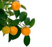 小的橙树 免版税库存照片
