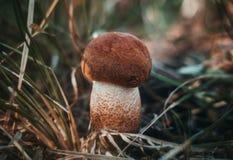 小的橙色盖帽牛肝菌蕈类,在草的白杨木蘑菇在森林关闭 与橙色棕色绒面革帽子的蘑菇 库存照片