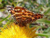 小的橙色蝴蝶 免版税库存照片