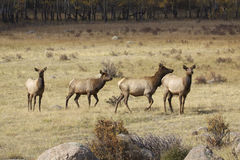 小的母牛麋牧群 免版税库存照片