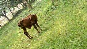 小的母牛 免版税库存图片