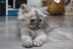 小的波斯猫。 免版税库存图片