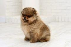 小的波美丝毛狗狗坐白色背景在演播室 免版税库存照片