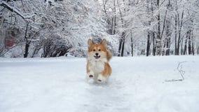 小的滑稽的走户外冬日的小狗蓬松小狗 影视素材