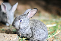 小的灰色兔子 免版税库存照片