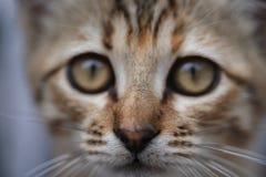小的灰色小猫关闭的哀伤的面孔  图库摄影