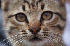 小的灰色小猫关闭的哀伤的面孔  免版税库存图片