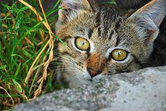 小的灰色小猫画象关闭 免版税库存照片