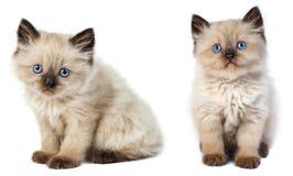 小的灰色小猫 免版税图库摄影