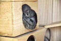 小的灰色老鼠在房子里 库存图片