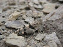 小的灰色蟋蟀 库存图片