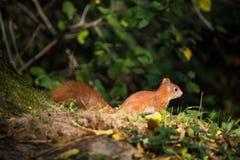 小的灰鼠在森林坐 免版税库存图片