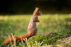小的灰鼠在森林坐 图库摄影