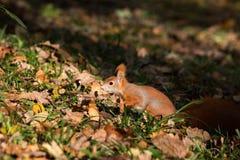 小的灰鼠在森林坐 库存照片