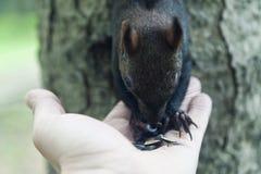 小的灰鼠 免版税图库摄影