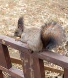 小的灰鼠 免版税库存照片