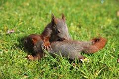 小的灰鼠 免版税库存图片