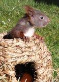 小的灰鼠 库存照片