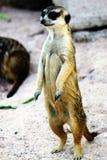 小的狐猴 免版税库存图片