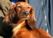 小的狗 免版税库存图片