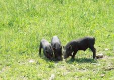 小的猪三 库存照片