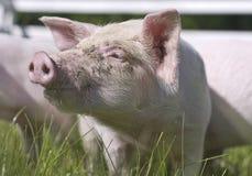 小的猪 库存图片