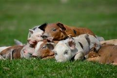小的猪 免版税库存照片